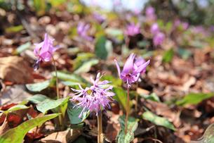 カタクリとショウジョウバカマの花の写真素材 [FYI01627638]