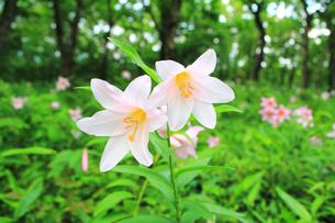 ヒメサユリの花の写真素材 [FYI01627680]
