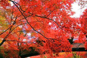 赤く紅葉する木々の写真素材 [FYI01627702]
