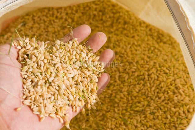 稲刈りしたばかりの籾を持つ手の写真素材 [FYI01627724]