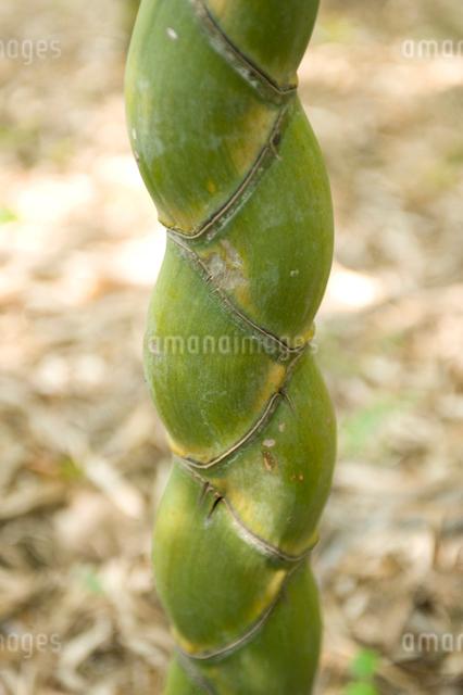 亀甲竹の写真素材 [FYI01627861]