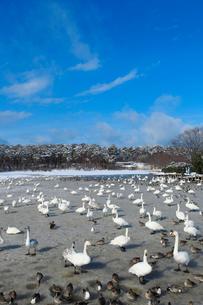 お幕場大池公園の白鳥の写真素材 [FYI01627980]