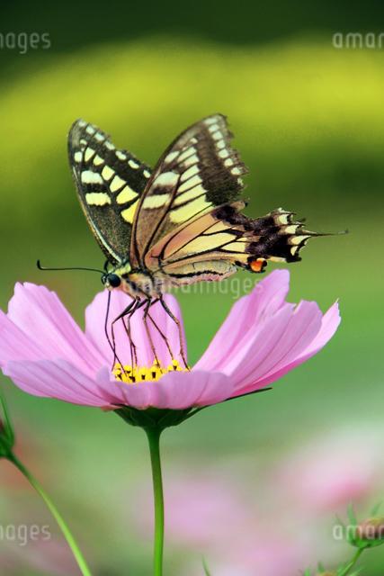 アゲハチョウとコスモスの写真素材 [FYI01628018]