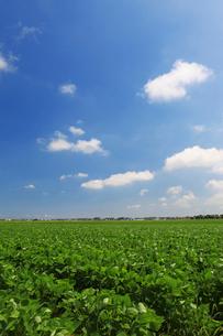 枝豆畑の写真素材 [FYI01628019]