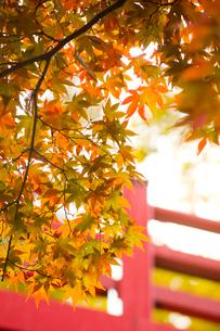 紅葉と赤い橋の写真素材 [FYI01628095]
