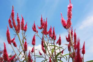 ケイトウの花の写真素材 [FYI01628127]