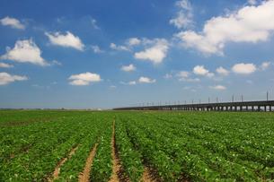 枝豆畑の写真素材 [FYI01628169]