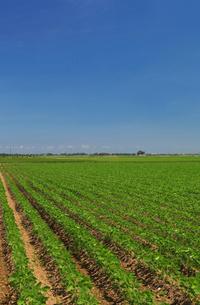 枝豆畑の写真素材 [FYI01628205]
