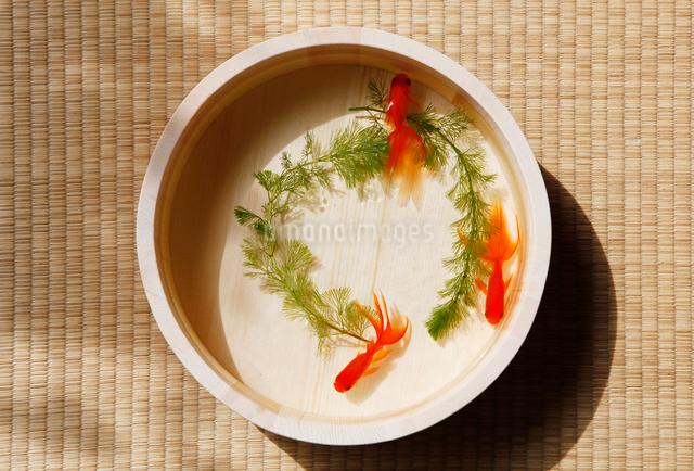 桶の中の金魚の写真素材 [FYI01628227]