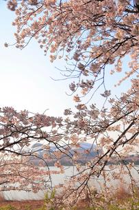 桜とサッカースタジアムの写真素材 [FYI01628246]