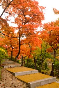 紅葉の中の階段の写真素材 [FYI01628253]
