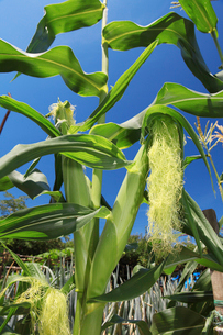トウモロコシ畑の写真素材 [FYI01628330]
