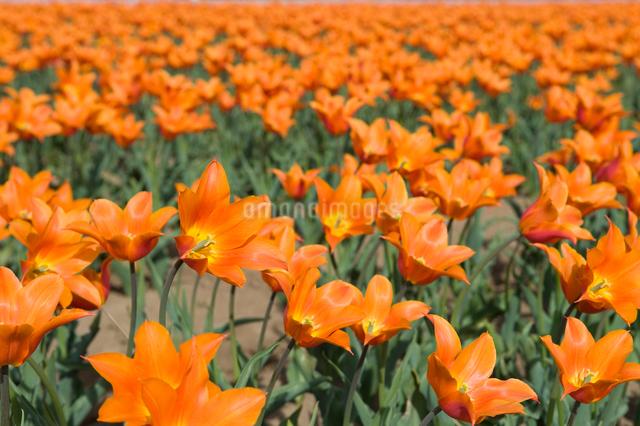 チューリップ畑の写真素材 [FYI01628371]