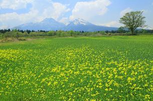 妙高山と菜の花畑の写真素材 [FYI01628411]