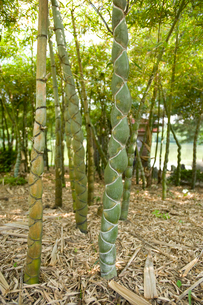 亀甲竹の写真素材 [FYI01628440]