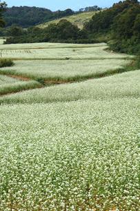 そば畑の写真素材 [FYI01628476]