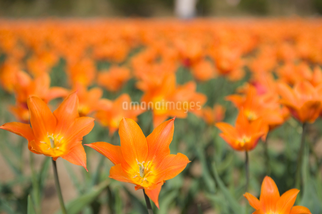 チューリップ畑の写真素材 [FYI01628538]