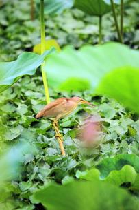 ハスの葉の茎につかまるヨシゴイの写真素材 [FYI01628548]