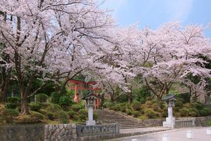 鳥居と桜の写真素材 [FYI01628560]