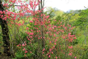 ヤマツツジの花の写真素材 [FYI01628587]