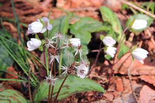 雪割草とショウジョウバカマの花の写真素材 [FYI01628597]