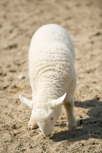 子羊の写真素材 [FYI01628636]