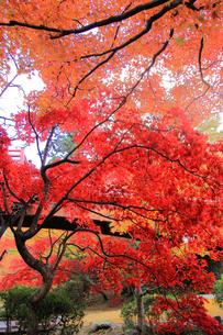 赤く紅葉する木々の写真素材 [FYI01628684]