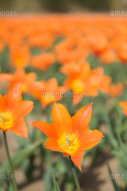 チューリップ畑の写真素材 [FYI01628688]