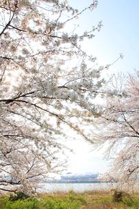 桜とサッカースタジアムの写真素材 [FYI01628709]