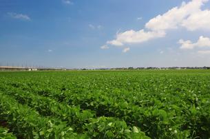 枝豆畑の写真素材 [FYI01629267]
