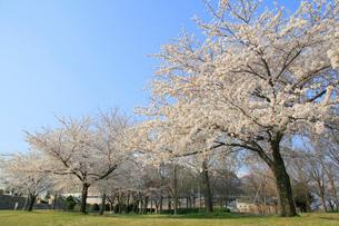新潟県スポーツ公園の桜の写真素材 [FYI01629283]