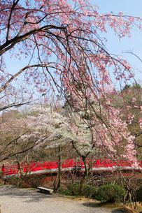 観月橋と桜の写真素材 [FYI01629339]