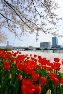 やすらぎ堤の桜とチューリップの写真素材 [FYI01629382]