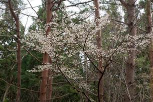 オクチョウジザクラの花の写真素材 [FYI01629419]