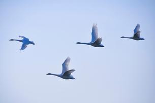 群れで飛ぶ白鳥の写真素材 [FYI01629648]