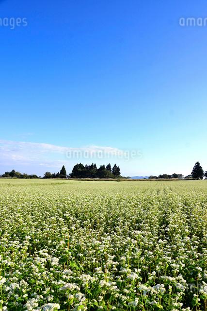 山本山高原のそば畑の写真素材 [FYI01629663]