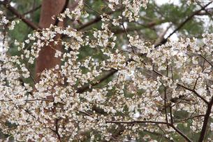 オクチョウジザクラの花の写真素材 [FYI01629678]
