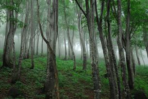 天水越のブナ林の写真素材 [FYI01629732]