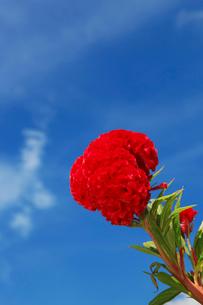 ケイトウの花の写真素材 [FYI01629736]