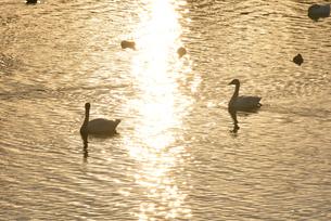 お幕場大池公園の白鳥の写真素材 [FYI01629785]