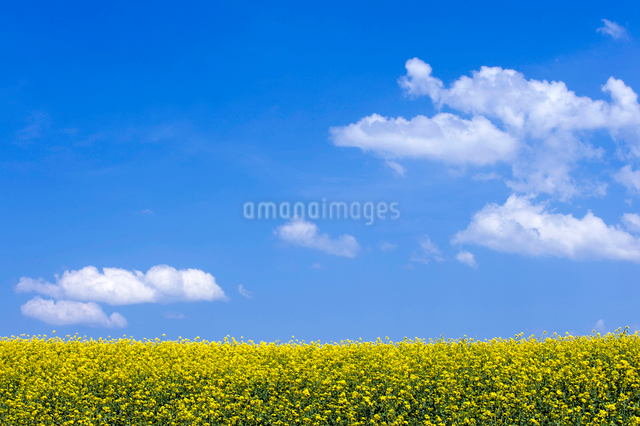 青空と菜の花畑の写真素材 [FYI01629811]