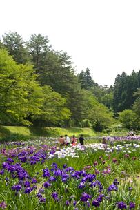アヤメ咲く五十公野公園あやめ園の写真素材 [FYI01629836]