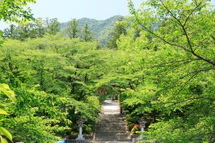 弥彦神社桜苑と弥彦山の写真素材 [FYI01629921]