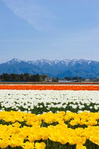 菅名岳とチューリップ畑の写真素材 [FYI01629978]