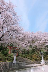 鳥居と桜の写真素材 [FYI01630064]