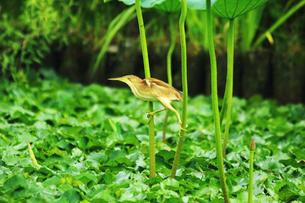 ハスの葉の茎につかまるヨシゴイの写真素材 [FYI01630087]