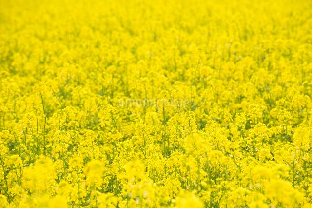 菜の花畑の写真素材 [FYI01630129]