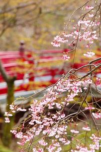弥彦公園もみじ谷の桜の写真素材 [FYI01630146]