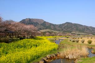 上堰潟公園の菜の花畑と角田山の写真素材 [FYI01630152]