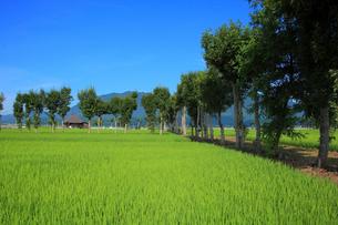 青々とした田園とハサ木並木のある農道の写真素材 [FYI01630182]